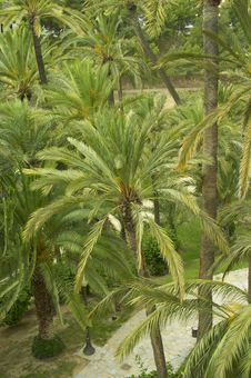 Free Palms In Elche Stock Photography - 930422