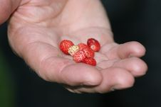 Free Picking Wild Strawberry Royalty Free Stock Photography - 930587