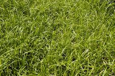 Free Green Sedge Stock Image - 930741