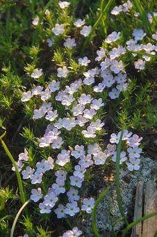 Free Mountain Wildflowers Royalty Free Stock Photo - 930895