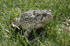 Free Frog I Stock Images - 931484