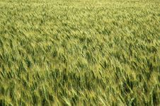 Free Wheat Field Royalty Free Stock Images - 931539