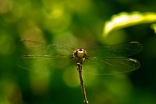 Free Dragonfly At Rest Stock Photography - 931562