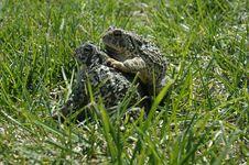Free Frog II Stock Photos - 931603