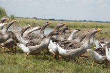 Birds Goose Royalty Free Stock Photos