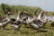 Birds Goose_2 Royalty Free Stock Images