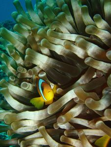 Free Clown Fish Royalty Free Stock Photo - 932685