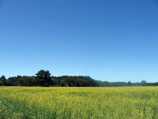 Free GOLDEN CANOLA FIELD Royalty Free Stock Photo - 932865