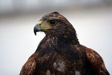 Free Eagle Royalty Free Stock Photos - 933488