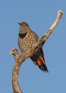 Red Shafted Northern Flicker Stock Image