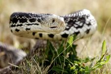 Free Defensive Snake In The Grass (natural Habitat) Royalty Free Stock Images - 933729
