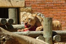 Free Lion Eating Meat Royalty Free Stock Images - 934059