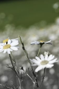 Free Field Of Daisies Stock Image - 934071