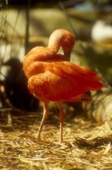 Flamingo Cleaning Royalty Free Stock Photography