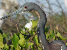 Free Blue Heron Royalty Free Stock Photos - 934628