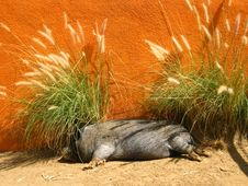 Free Pig Nap Stock Photo - 934730