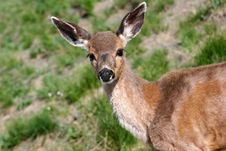 Free Fawn Royalty Free Stock Photos - 934758