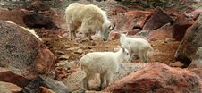 Free Rocky Mountain Goats Stock Photography - 934782