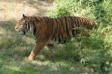 Free Stalking Tiger Stock Photo - 934800