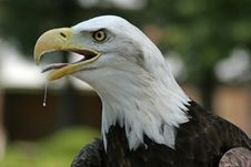 Free Profile Of A Eagle Royalty Free Stock Photo - 934805