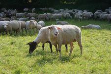 Free Sheep Herd Stock Photography - 935382