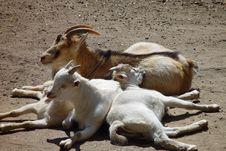 Free Goat Royalty Free Stock Photo - 935825