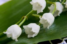 Spring Flower A Lily Of The Valley Royalty Free Stock Image