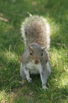 Free Squirrel Royalty Free Stock Photo - 936395