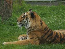 Free Tiger Royalty Free Stock Photo - 937255