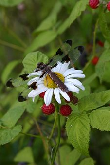 Free Dragonfly On A Daisy Near Red Berries Royalty Free Stock Photo - 938845