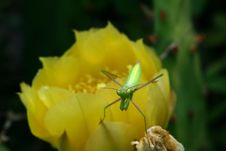 Free Preying Mantis On Cactus Bloom Royalty Free Stock Photos - 938848