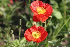 Free Poppy Stock Photography - 939992