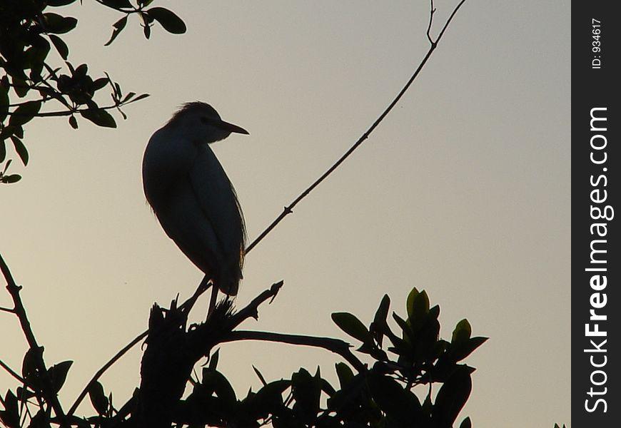 Sunset Cattle Egret.