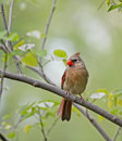 Free Female Cardinal Stock Image - 9305991