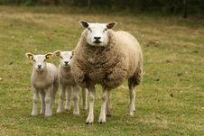 Mother Sheep And Two Little Lambs Looking At You Stock Image