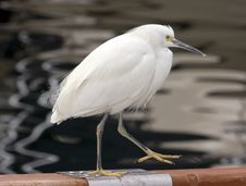 Free White Heron Stock Photography - 9300462