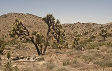 Free Stand Of Joshua Trees Stock Image - 9301761