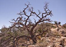 Free Gnarled Oak Tree Royalty Free Stock Photos - 9301778