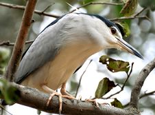 Free Black Crowned Heron Stock Photography - 9304192
