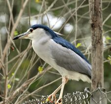 Free Black Crowned Heron Royalty Free Stock Image - 9304206