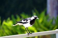 Free Murray-Magpie Standing On Fence Stock Photography - 9305682