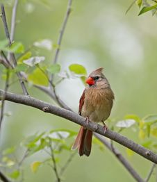Free Female Cardinal Stock Image - 9305991