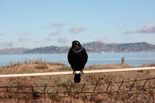 Free Blackbird Royalty Free Stock Photo - 9308325