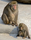 Free Japanese Macaque 2 Stock Photography - 9312232