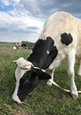 Free Cow Royalty Free Stock Image - 9313046