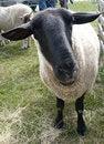 Free Black Faced Sheep Close Up Stock Photos - 9315693