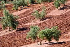 Free Olive Trees In Andalusia, Spain Royalty Free Stock Photo - 9310205