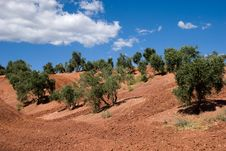 Free Olive Trees In Andalusia, Spain Royalty Free Stock Photos - 9310248