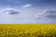 Free Yellow Rape Seed Field Royalty Free Stock Photography - 9310897