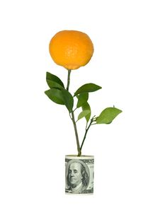Free Branch With  Tangerine In Dollar Pot Royalty Free Stock Image - 9311196